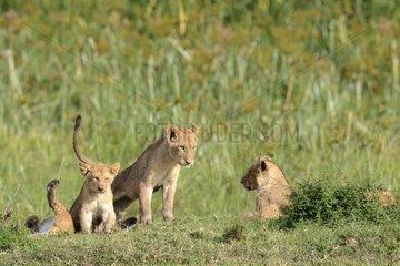 Lion cubs in the bush - Masai Mara Kenya