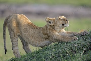 Lion cub stretching in savannah - Masai Mara Kenya
