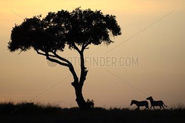 Plain Zebras and tree at dawn - Masai Mara Kenya