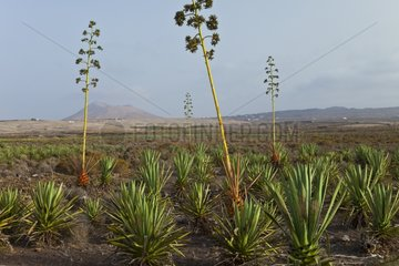 Agaves planting in the village of Ile Lajares Fortaventura