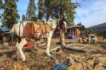 Packhorse and trapper's cabin - Yukon Canada