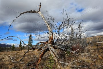 Burned in autumn forest - Around Rose Lake Yukon Canada