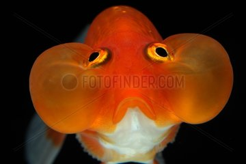 Golden fish 'Bubble Eyes'