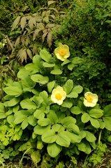 Caucasian Peony Jardin des Cotons in Alsace France