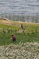 Peasants working in the Lake Atitlan Guatemala