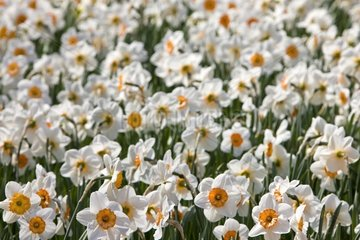 Daffodills 'Professeur Einstein' in bloom at spring France