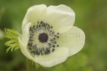 Flower white anemone Caen Bretagne France