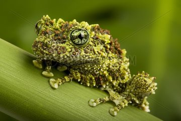 Vietnanmese Mossy Frog on a stem