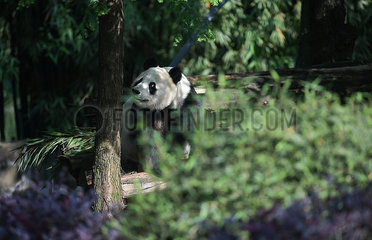 CHINA-SICHUAN-U.S.-GIANT PANDA-RETURN (CN)
