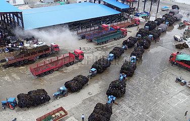 CHINA-SHANDONG-RONGCHENG-KELP HARVEST(CN)