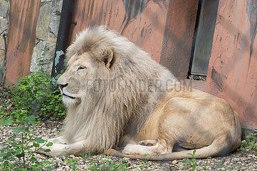 HUNGARY-SZEGED-WHITE LION CUB