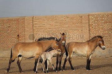 CHINA-XINJIANG-ENDANGERED HORSE-BREEDING HORSE (CN)
