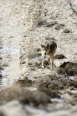CHINA-XINJIANG-ALTUN MOUNTAINS-WOLVES (CN)