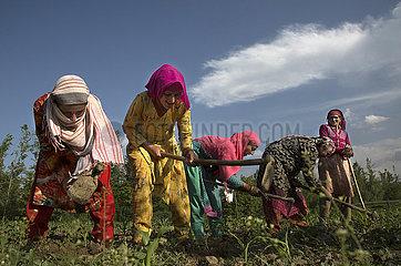 KASHMIR-SRINAGAR-AGRICULTURE