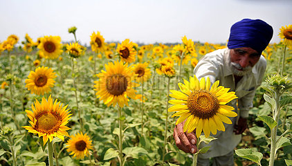 KASHMIR-JAMMU-SUNFLOWERS