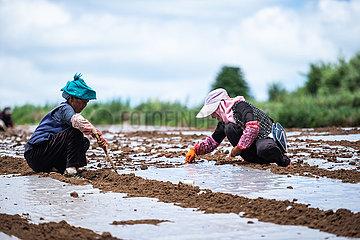 CHINA-SUMMER SOLSTICE-FARMING (CN)