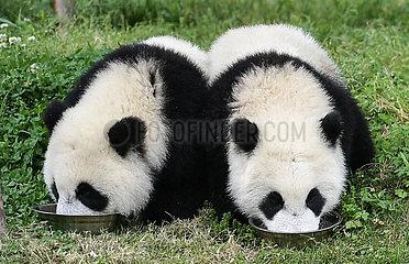CHINA-SICHUAN-wolong-PANDA-Kindergarten (CN) CHINA-SICHUAN-wolong-PANDA-Kindergarten (CN) CHINA-SICHUAN-wolong-PANDA-Kindergarten (CN) CHINA-SICHUAN-wolong-PANDA-Kindergarten (CN)