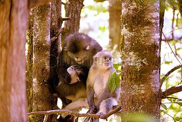 Xinhua Schlagzeilen: Saving Yunnan goldenen Affen Haar