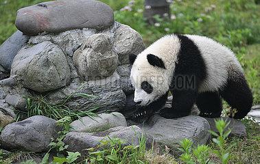 CHINA-SICHUAN-wolong-PANDA-Kindergarten (CN) CHINA-SICHUAN-wolong-PANDA-Kindergarten (CN) CHINA-SICHUAN-wolong-PANDA-Kindergarten (CN)