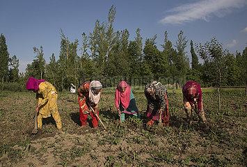 KASHMIR-SRINAGAR-LANDWIRTSCHAFT KASHMIR-SRINAGAR-Landwirtschaft KASHMIR-SRINAGAR-LANDWIRTSCHAFT KASHMIR-SRINAGAR-Landwirtschaft