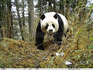 #CHINA-SICHUAN-PANDA-INFRARED CAMERA (CN*)
