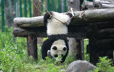 CHINA-SICHUAN-wolong-PANDA-Kindergarten (CN)