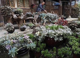 # CHINA-ZHEJIANG-lishui-SUCCULENT PLANTS (CN) # CHINA-ZHEJIANG-lishui-SUCCULENT PLANTS (CN) # CHINA-ZHEJIANG-lishui-SUCCULENT PLANTS (CN) # CHINA-ZHEJIANG-lishui-SUCCULENT PLANTS (CN)