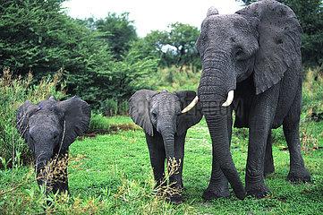 BOTSWANA - OKAVANGO - MOTHER ELEPHANT AND HIS TWINS