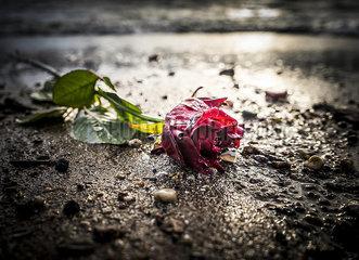 Rose am Elbstrand p075m2071215