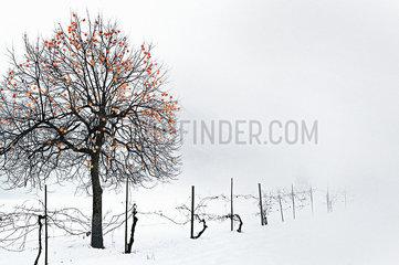 Kakibaum im Winter p922m2071559