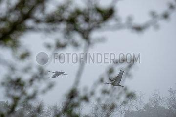 Paar Kraniche im Nebel p739m2077200