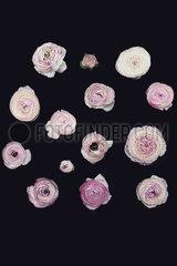 Pink Anemone buds p1323m2076299