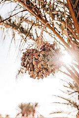 Palme mit Datteln bei Sonnenschein in Marokko