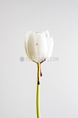 A white tulip with blood running down the stem