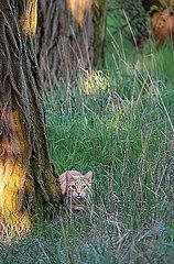 Katze versteckt sich hinter einem Baum