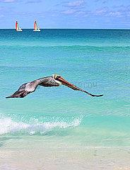 Pelikane am Strand auf Kuba