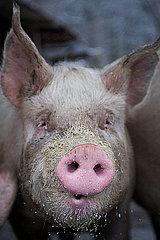 Schwein  Close-Up
