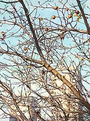 Mispeln haengen an einem Baum