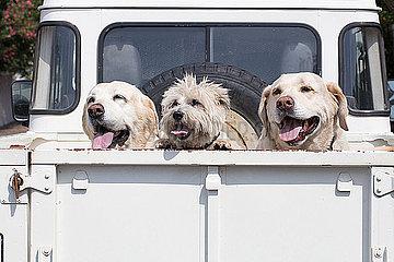 Drei Hunde auf der Ladeflaeche eines Pick-up's