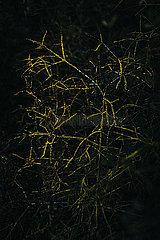 Busch ohne Blaetter mit gelbem Geaest in duesterem Licht