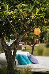 Orangenbaum p600m2076866