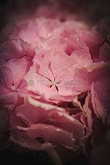 Rosa Hortensien p1150m2076396