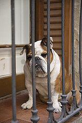 Bulldogge p596m2076882