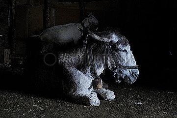 Esel und Ziege im Stall