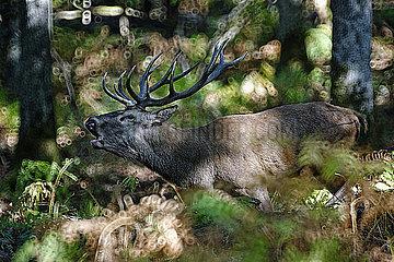 Hirsch im Wald