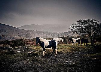 Ponys in Dartmoor