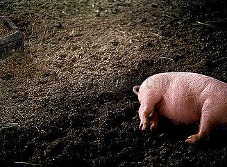 Schwein im Schatten