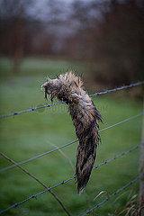 Fuchsschwanz an einem Stacheldrahtzaun