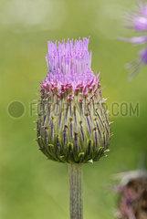 Verschiedenblaettrige Kratzdistel (Cirisium heterophyllum) nusko_006342_057