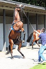 Hannover  Deutschland  Pferd steigt vor seinem Pfleger im Sattelring